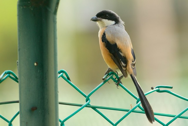Long-tailed Shrike, Nikon D800, AF-S Nikkor 300mm f/4D IF-ED
