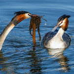 04/12/2018 - PDI. League 3.. 02 Great Crested Grebes Courting June Sparham by JUNE SPARHAM