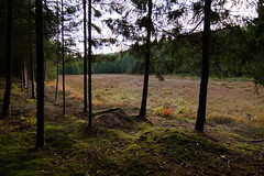 En skoveng