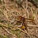 a hornet and its prey - Eine Hornisse mit Ihrer Beute by ralfkai41