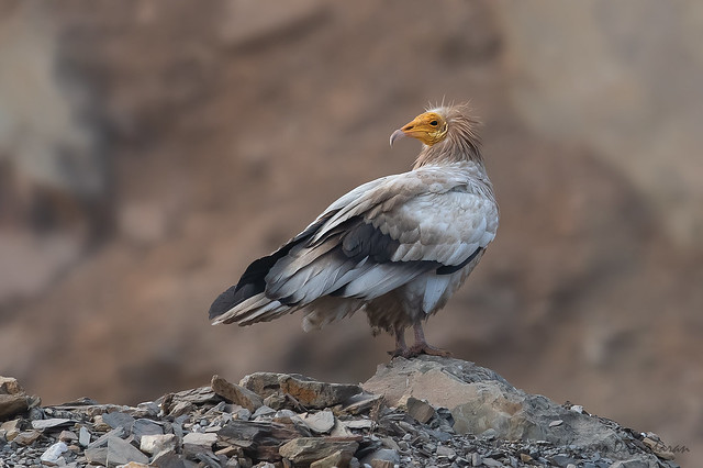 Egyptian vulture (Neophron percnopterus), Nikon D500, Sigma Macro 50mm F2.8 EX DG
