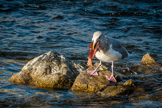 2018-11-12 Glaucous-winged Gull | by Darren_Kirby