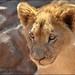 Lion Cub. by LC's Eye (Wild Images of Africa)