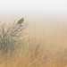 Eastern Meadowlark in the fog by ChristinaLEvans