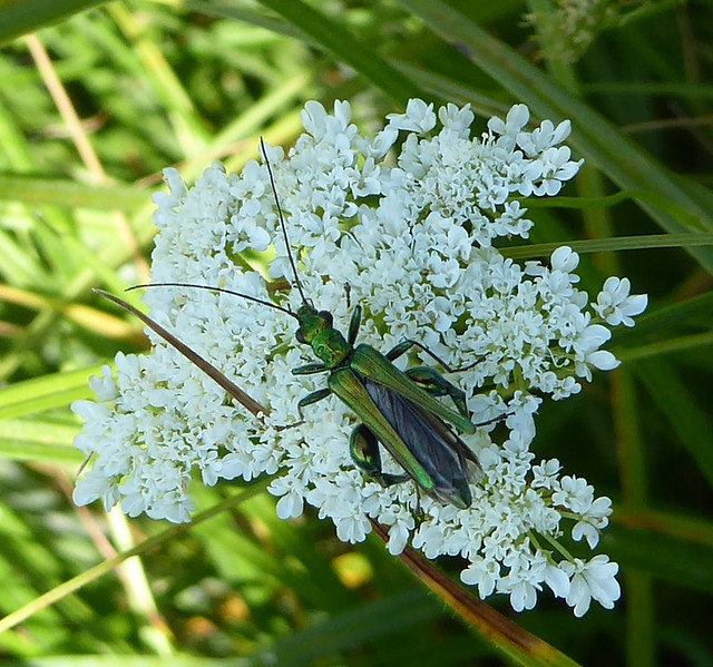 Swollen thighed beetle on corky-fruited water dropwort