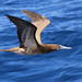 Brown Booby - Martinique, Lesser Antilles