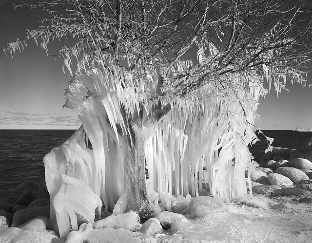 Frozen tree, Meaford, Ontario