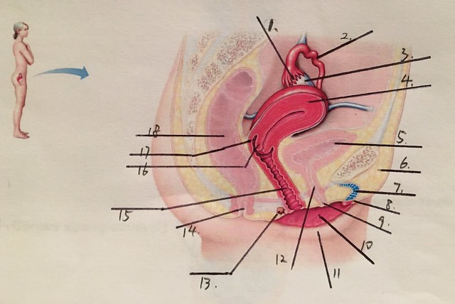 Female reproductive system Quiz - By Seattle84