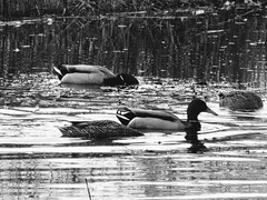Ducks Feeding (B&W)