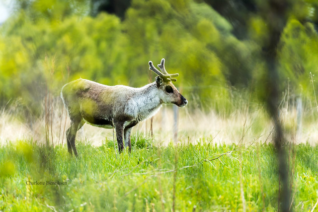 Reindeer, Nikon D4S, Sigma 150-600mm F5-6.3 DG OS HSM | S
