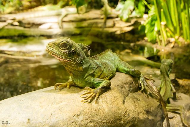 Green Lizard, Canon EOS 7D, Sigma 10-20mm f/4-5.6