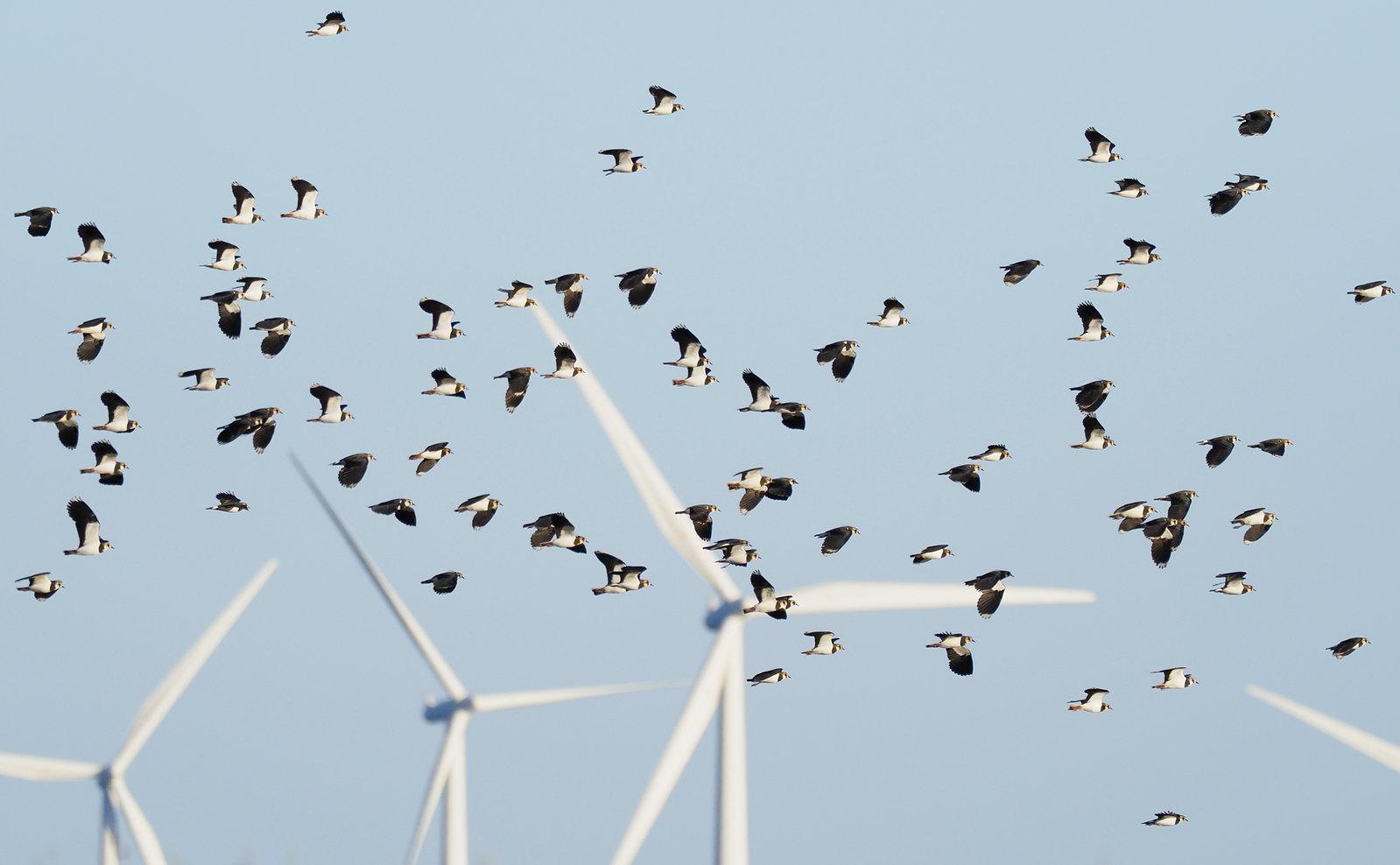 Lapwings across Wind pylons