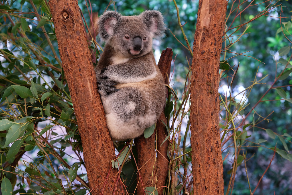 Best Animal Photos Of 2018: Koala