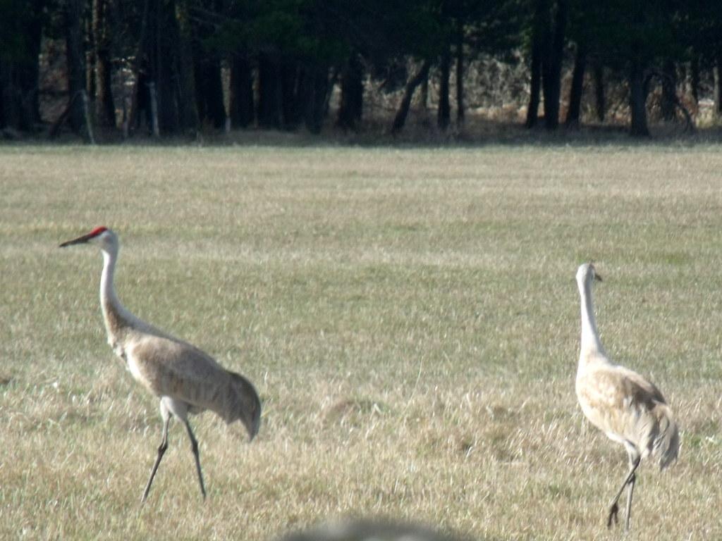 DSCF4962...Sandhill Cranes