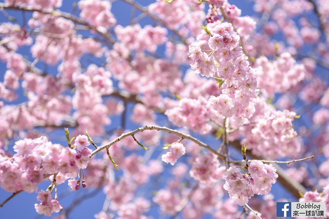西湖療癒之鄉根場櫻花-8