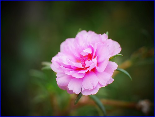 pink moss rose purslane flower