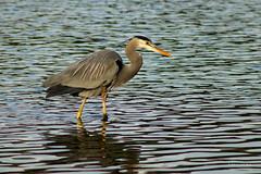 Blue Heron 2178