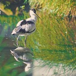 Water bird reflection Bokeh  - Schleswig-Holstein - Germany