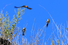 Banded martin and red-rumped swallows