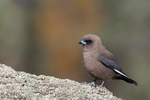 Dusky Woodswallow (Artamus cinereus)