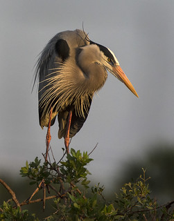 King of the blue herons
