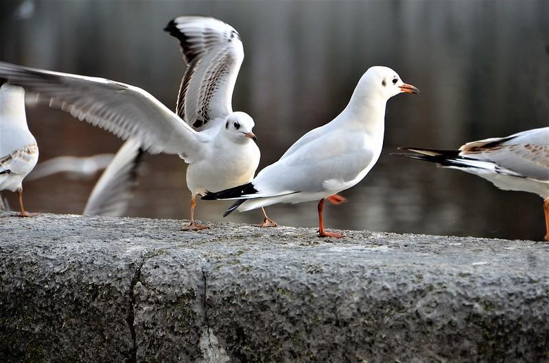 Gulls 01.12 (6)