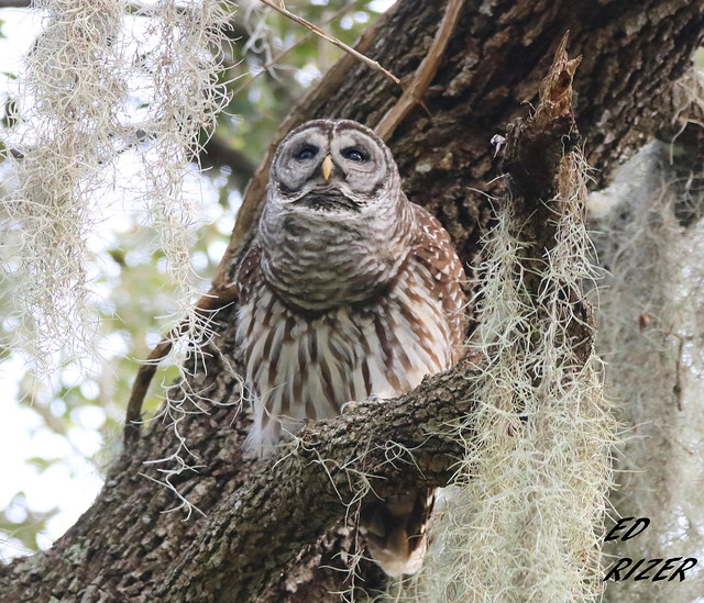 BARRED OWL hooting, Canon EOS REBEL T6I, Sigma 150-600mm f/5-6.3 DG OS HSM | C