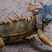 2018 - Mexico - Zihuatanejo - Iguana by Ted's photos - Returns Early January