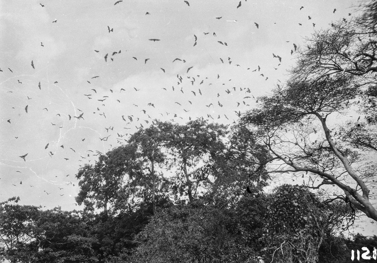 1123. Лундази. верхушка дерева с летающими фруктовыми летучими мышами