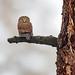 Northern Pygmy Owl by Loren Mooney