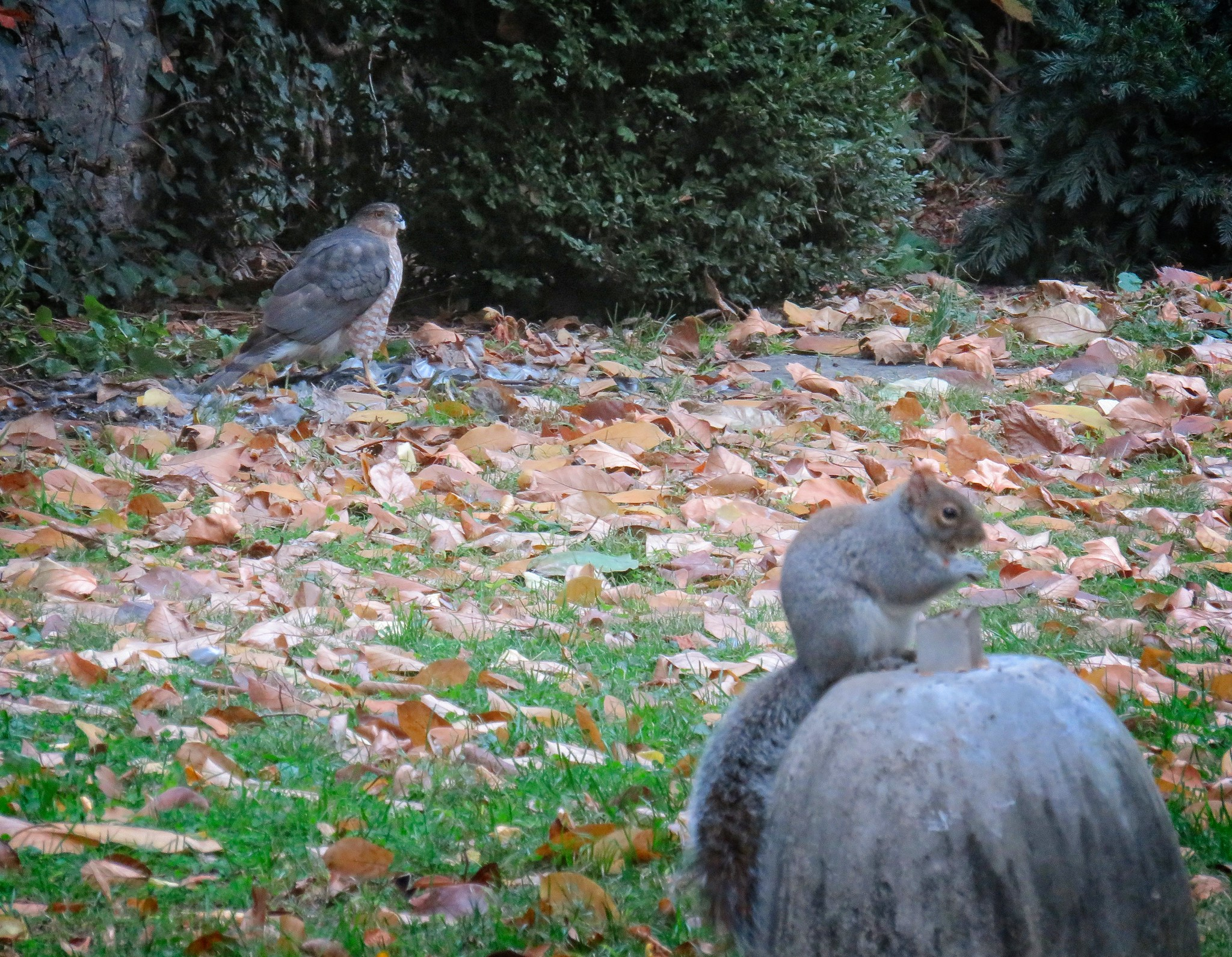 Cooper's hawk and squirrel in NYC Marble Cemetery
