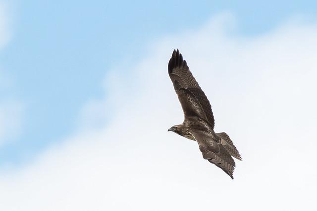 DSC 9147.jpg Red-tailed Hawk, Nikon D500, AF-S Nikkor 200-500mm f/5.6E ED VR
