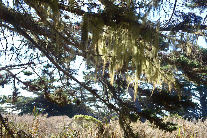 Lace lichen, Cypress Grove trail, Point Lobos