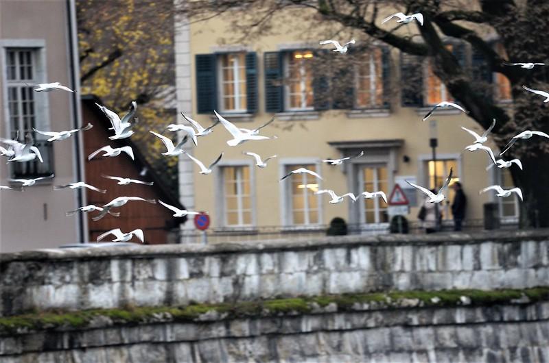 Gulls 05.12 (8)