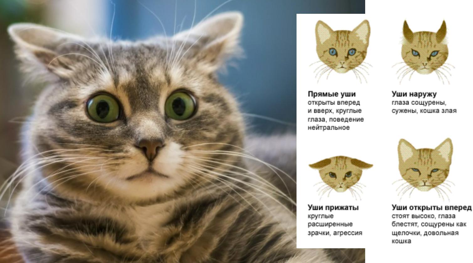 Положения ушей у кошек фото
