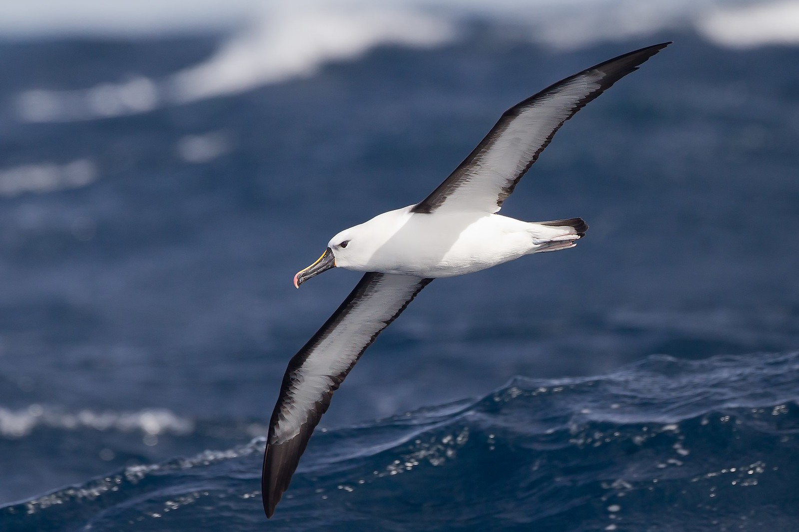 photo of albatross