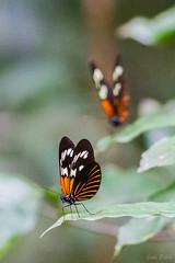 Papillon sp