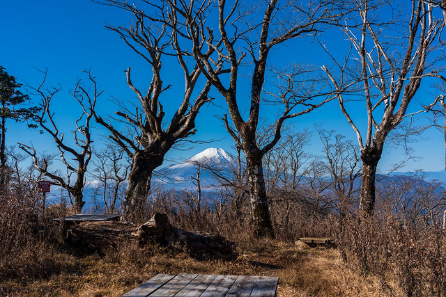 ブナの原生林と富士山