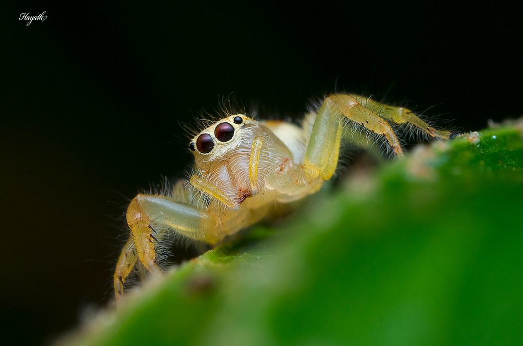 Two striped jumping spider, Telamonia female