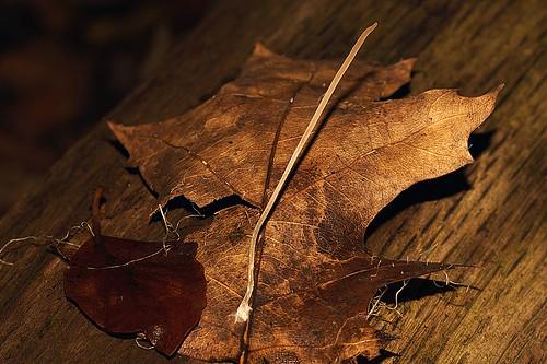 Draadknotszwam (Macrotyphula juncea)