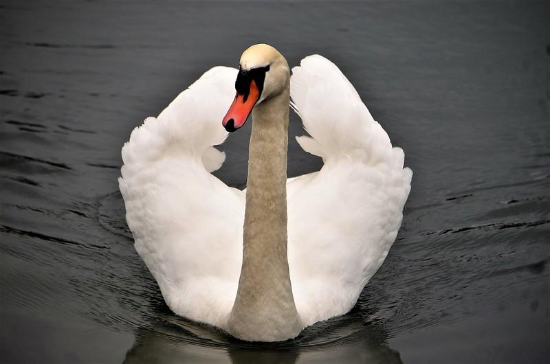 Swan 01.01 (6)
