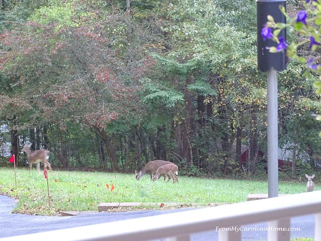 November Wildlife at FromMyCarolinaHome