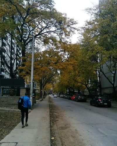 East on Maitland under yellow #toronto #churchandwellesley #maitlandstreet #fall #autumn #yellow #leaves #trees