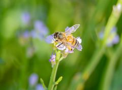 Honey Bee with back legs heavily laden in pollen