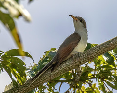 Belize, Yellow-billed Cuckoo