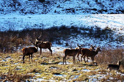 deer ulrichsberg