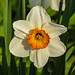 Day 3, Daffodil (Narcissus?) growing wild, Pt Pelee