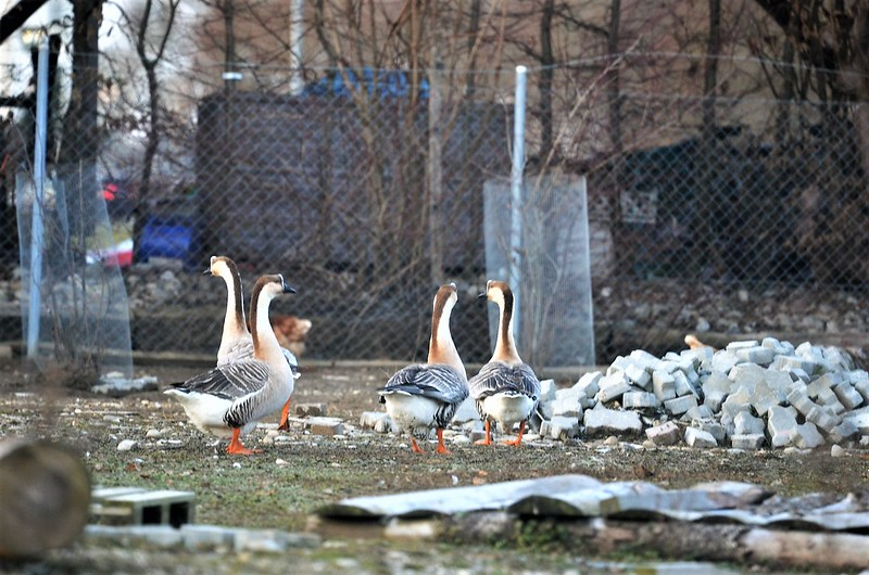 Geese 04.01 (2)