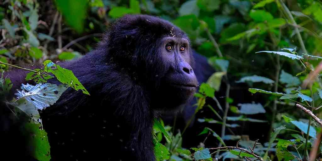 gorilles-danger-espèce