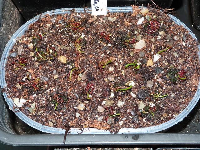 semis sarracenia et darlingtonia - Page 5 46025505071_fa3cf8af37_z